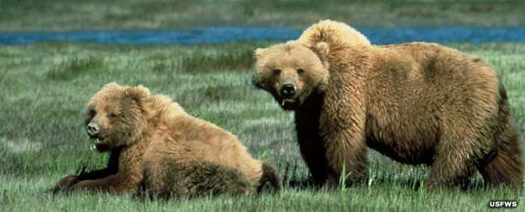 Grizzly bears at Winegar Hole Wilderness