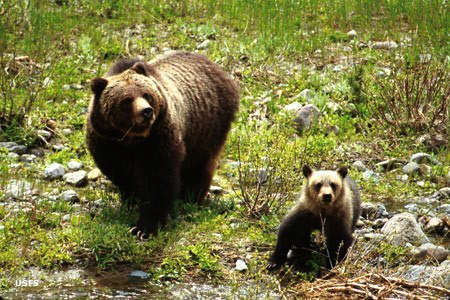 A grizzly bear sow and her cub