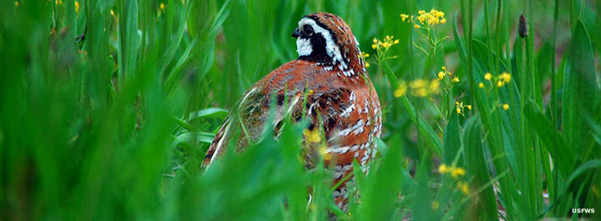 A Northern bobwhite on the surface above the cave