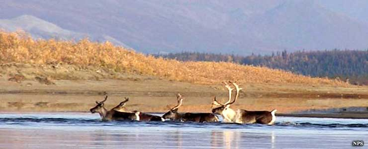 Caribou swimming in a river at Kobuk Valley National Park