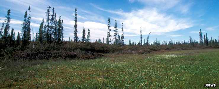 Bog, with black spruce on Koyukuk National Wildlife Refuge