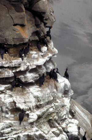 A red-faced cormorant colony on the face of a cliff in Becharof Wilderness