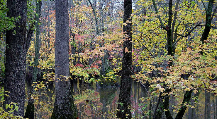 In a dense cypress swamp on Bayou Deview