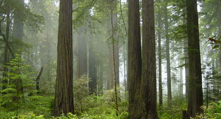 Fog in the forest at Redwood National Park