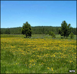 Field of wildflowers, Tahoe National Forest