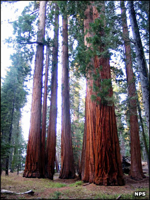 A grove of giant sequoias