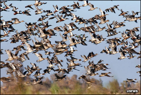 Mixed flock of waterfowl