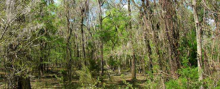 Thick trees and hanging vines and moss in Osceola National Forest