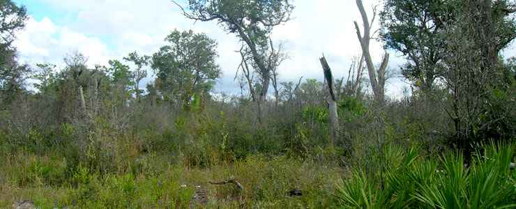 A dense understory of bushes and vines is typical Florida scrub