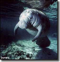 A manatee in the water