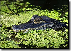 A young alligator at Lake Woodruff NWR