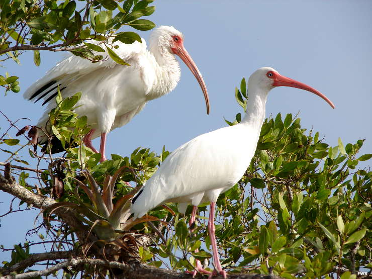 A pair of white ibis on the property
