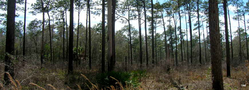 Typical tree cover and undergrowth in a Florida State Forest
