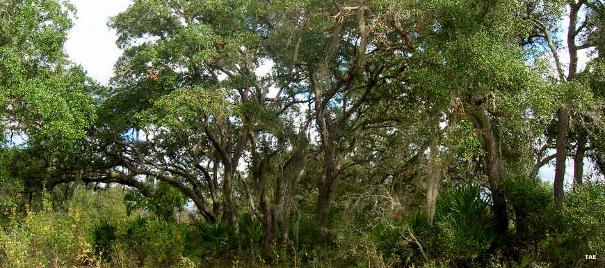 Tree cover in Lake Wales Ridge State Forest