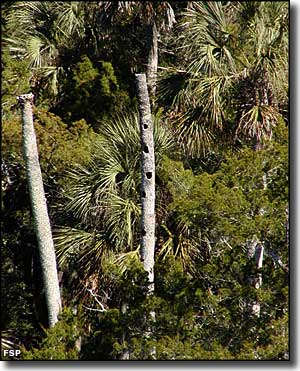 A view of nesting places in the dead palm tree snags in the park