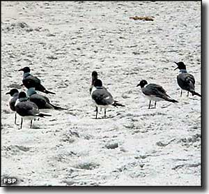Laughing gulls resting on the sand