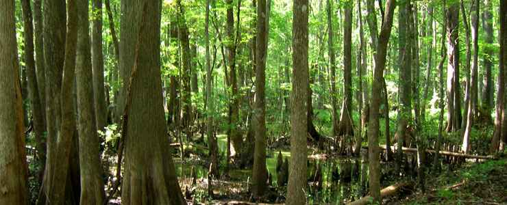 Dense Cypress swamp in the Big Gum Swamp Wilderness