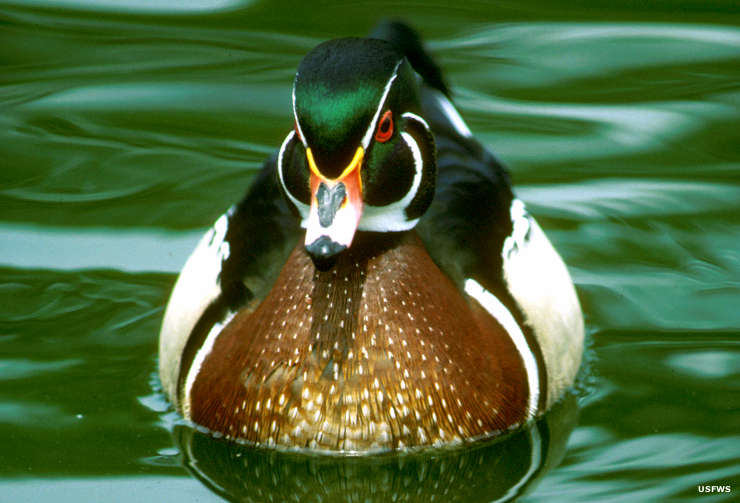 A wood duck on the water