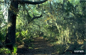 A trail in the maritime forest on Wassaw National Wildlife Refuge