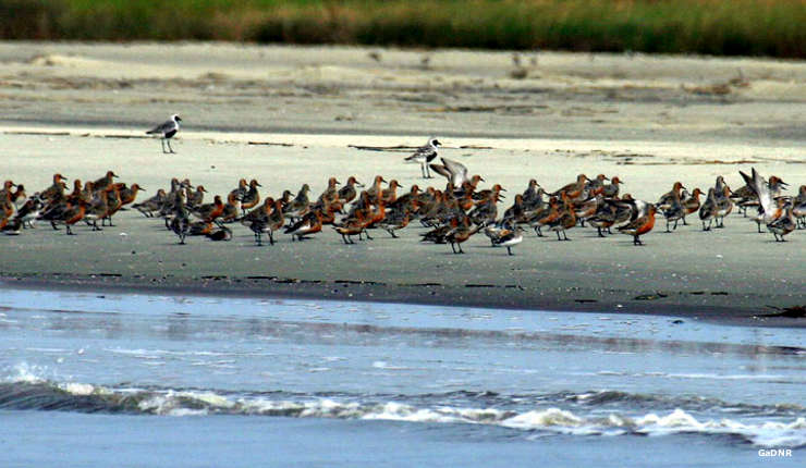 Shorebirds on Wolf Island