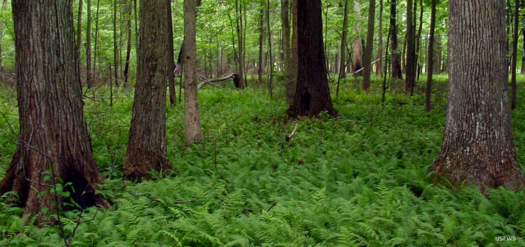 Forest thick with ferns at Big Oaks National Wildlife Refuge