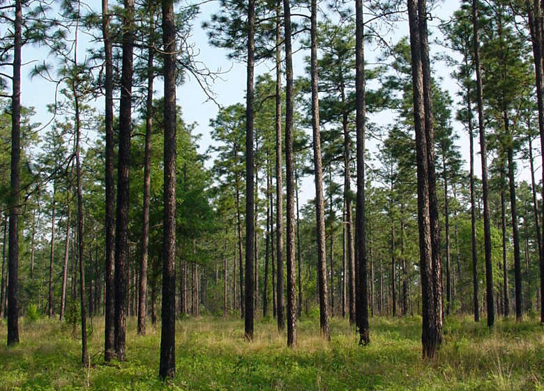 A view through the longleaf pines on Kisatchie National Forest