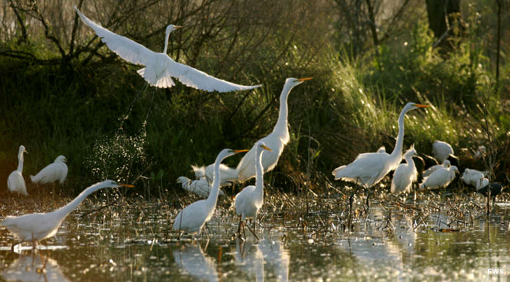 Great egrets at Cameron Prairie National Wildlife Refuge