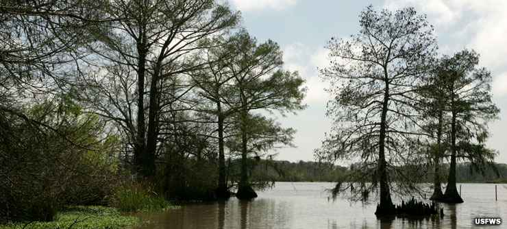Open water and bald cypress at Lacassine National Wildlife Refuge