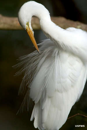A great egret preening its feathers at Blackwater National Wildlife Refuge