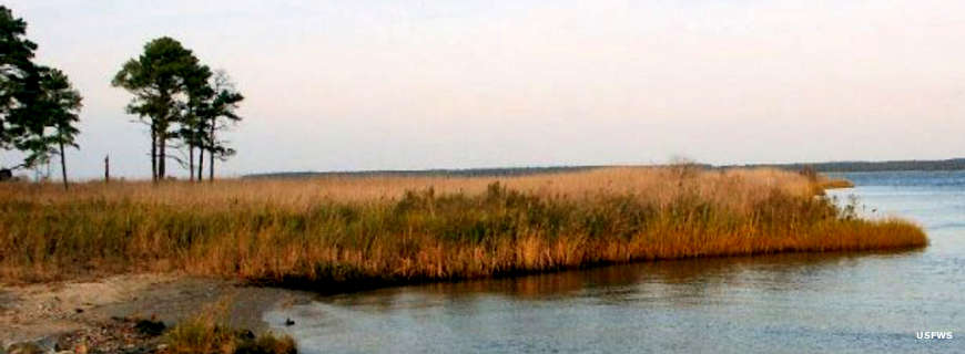 Salt marsh and pine flatwoods at Eastern Neck National Wildlife Refuge