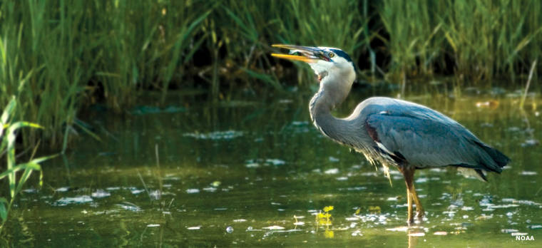 A heron having lunch in a National Estuarine Research Reserve