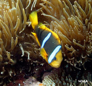 A clownfish in the anemones