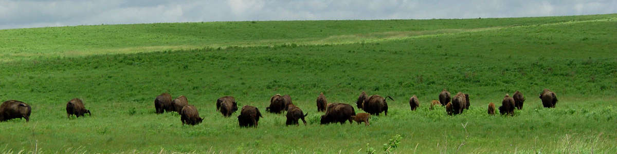 Iowa: A herd of bison at Neal Smith National Wildlife Refuge