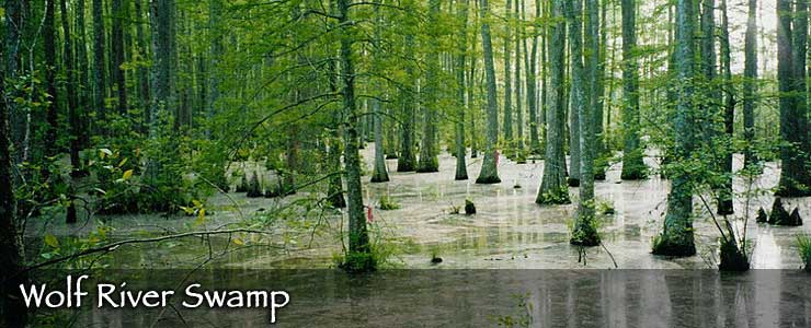 Wolf River Swamp in northeastern Mississippi