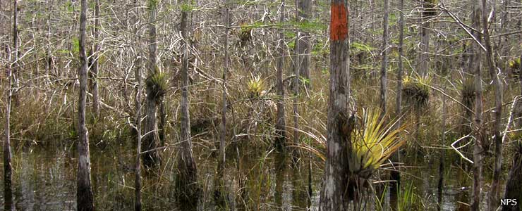 Epiphytes growing on the trees at Big Cypress